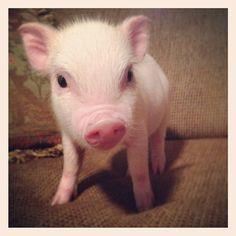 Charming Mini Pigs - Micro Mini Teacup Pigs Sale, Miniature Pigs For Sale, Mini Pig Breeders