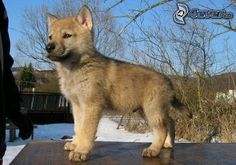 Czechoslovakian Wolfdog - I'm obsessed with these dogs! Wolf Dog Puppy, Dog Cat, Wolf Dogs, Animals And Pets, Baby Animals, Cute Animals, Baby Dogs, Dogs And Puppies, Doggies