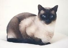 siamese | Traditional Applehead Siamese Cats and Kittens