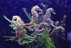 A grouping of sea horses...