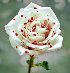 rosa pintada