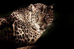 Jolie prédateur !!! #predateur #prédateur #félin #félins #felin #felin #panthère #panthere #jaguar