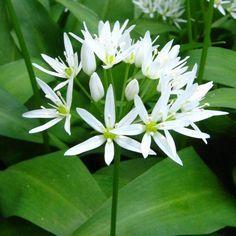 Allium, Herb Garden, Life Is Good, Survival, Herbs, Gardening, Health, Plants, Salud