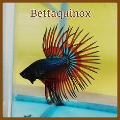 fwbettasct1432234129 - BETTAQUINOX COLLECTION - Superb Green Orange CT