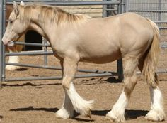 Pearl dilution is a recently identified and rare color gene that is thought to have originated in horses of Spanish descent. The presence of the Pearl gene has been confirmed in breeds of Iberian origin, such as the Lusitano and Purebred Spanish horse, and is theorized to be present in the Spanish Mustang. In the American Quarter and American Paint horses, Pearl dilution is regularly referred to as the 'Barlink Factor.' Although the gene is distinct, the affect of Pearl dilution is similar...