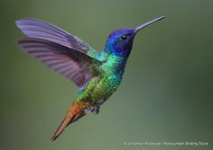 The Amazing Lives of Hummingbirds: Part 3 - Perhaps the most familiar hummingbird in the U. is the Ruby-throated Hummingbird. Hummingbird Meaning, Hummingbird Pictures, Hummingbird Tattoo, Hummingbird Painting, Tattoo Bird, Hummingbird Symbolism, Hummingbird Colors, Parrot Painting, Raven Tattoo