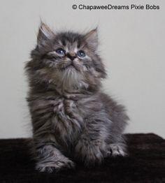 ChapaweeDreams Pixie Bobs' Kittens