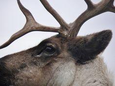 Deer . . .