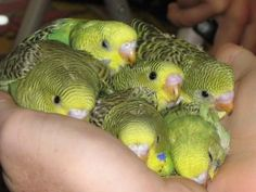 They're cuddly | Community Post: 10 Reasons Why Budgies Are The Best / Awww I wish I could hold them all! I'd never give them back!