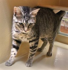 HEIDI is a 1 year old brown/black tabby that has raised her 4 kittens  and now is ready for a forever home. In foster, she was very quiet and  went about her business without being demanding. She is now at PetSmart  and hopefully well get adopted...