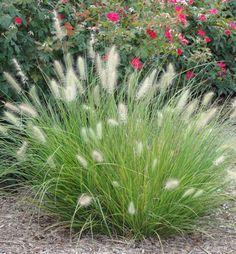Pennisetum Little Bunny fountain grass/pennisetum alopecuroides Ornamental Grasses For Shade, Ornamental Grass Landscape, Perennial Grasses, Perennials, Tropical Landscaping, Outdoor Landscaping, Landscaping Plants, Front Yard Landscaping, Landscaping Ideas