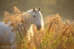 Andalusian stallion Naranjito