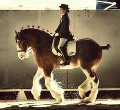 Clydesdale dressage