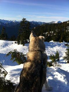 Husky Malamute at Mt. Seymour