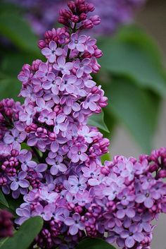 lilacs....           I can almost smell!