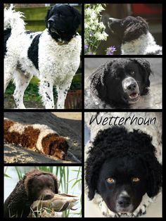 The Wetterhoun. This is a rare Dutch breed, a water dog, originally used for hunting otters. Nowadays they're valued companions rather than hunting dogs, though. It is unfortunate that the breed is on the decline.