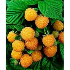 Zmeur, Cytria (Zmeur alb), Arbusti fructiferi,