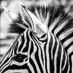 Stripey details of a zebra at Hoedspruit Endangered Species Center in South Africa  @_sosuchjelly