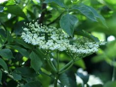 Homemade Elderflower Wine - This is a delightfully light and fragrant wine redolent of spring days and civilised living. The elderflowers are a joy to pick: a feast for eyes & nose. There's something quite magical in turning flowers into wine.