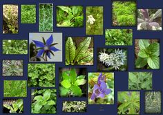 Kräuterkunde - Google-Suche Kraut, Google, Plants, Medicinal Plants, Search, Flora, Plant
