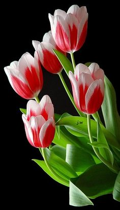 Tulips are glorious....