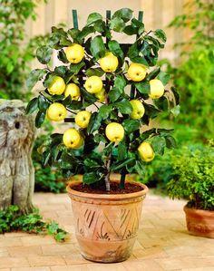 Fruit trees in pots