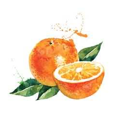 Illustration of Hand drawn watercolor painting on white background. Vector illustration of fruit orange vector art, clipart and stock vectors. Watercolor Fruit, Fruit Painting, Watercolour Painting, Orange Painting, Watercolor Images, Watercolours, L'art Du Fruit, Fruit Art, Fruit Cakes