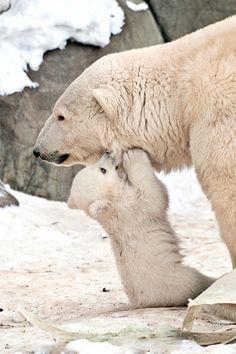cute polar bear mum and cub