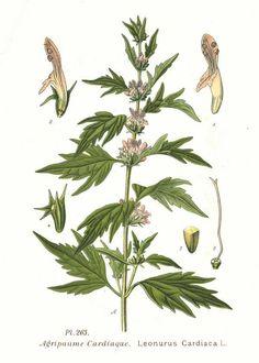 Illustrazione botanica Leonurus cardiaca