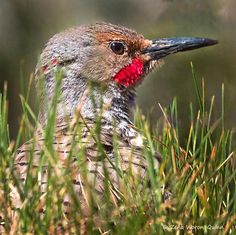 Northern Flicker Hiding in The Grass by zwqphotos