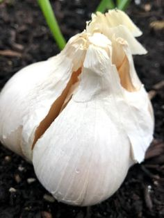 Garden Bulbs, Planting Bulbs, Clove Plant, How To Store Garlic, Planting Garlic, Garlic Seeds, Insect Hotel, Compost Tea, Square Foot Gardening