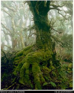 Dombrovskis, Peter, 1945-1996. Myrtle tree in rainforest at Mount Anne, southwest Tasmania, 1984 [picture]