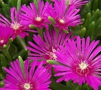 Hardy Purple Ice Plant - perennial, drought and heat resistant, full/mostly sun, level of care is low, Love this!
