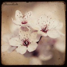 Kirschblüte von AllesUndLicht auf DaWanda.com