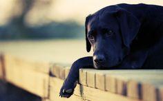 We Love Labrador Retrievers! I Love Dogs, Puppy Love, Cute Dogs, Black Labs, Black Labrador, Labrador Names, Cute Dog Wallpaper, Hd Wallpaper, Wallpaper Gallery