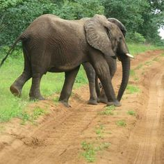 Ellephant sightings in the Umfolozi park. Game Reserve, 6 Photos, Four Square, South Africa, Elephant, Park, Nature, Animals, Naturaleza