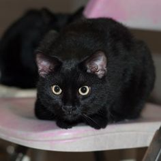 Jacki - located at Wetzel County Animal Shelter in New Martinsville, West Virginia - 5 MONTH OLD Spayed Female Domestic SH - Very timid and shy.  She will come around quickly if someone could spend time with her.