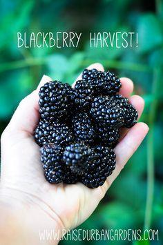 DIY garden. a handful of blackberries. how to garden on link.