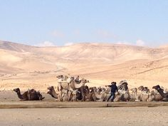Desert camels in Israel Israel Trip, Israel Travel, Camels, Deserts, Animals, Animales, Animaux, Postres, Animal