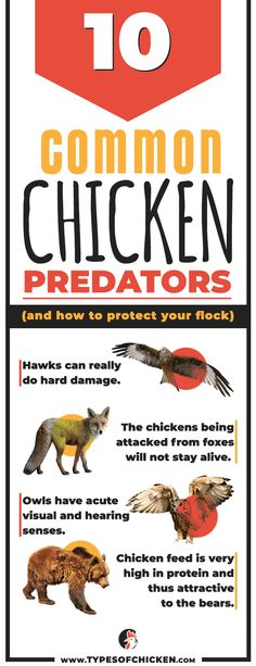 Undoubtedly, all of the chicken keepers are afraid of predators. In order to have safe flock, you have to protect your chickens well. Once you are certain that a predator has visited your flock, try to identify it. Types Of Chickens, Raising Backyard Chickens, Keeping Chickens, Baby Chicks, Small Farm, Grow Your Own Food, How To Protect Yourself, Flocking, Predator