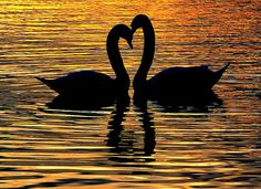 These two swans were being very fond. They seemed to be rubbing heads and necks together. Like it set in gold and with the reflection.  So stunning and loving!!