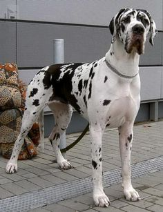 """Excellent """"great dane puppies""""xx info is readily available on our site. Cute Dog Costumes, Dog Halloween Costumes, I Love Dogs, Cute Dogs, Harlequin Great Danes, Dane Puppies, Great Dane Puppy, Cartoon Dog, Old Dogs"""