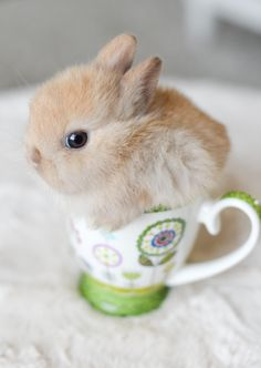See, I fit ! Baby bunny in a teacup Animals And Pets, Funny Animals, Cute Bunny Pictures, Cute Baby Bunnies, Fluffy Bunny, Pet Rabbit, Dwarf Rabbit, Cute Little Animals, Cute Creatures