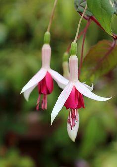 Fuchsia 'Galfrey Lye' lovely
