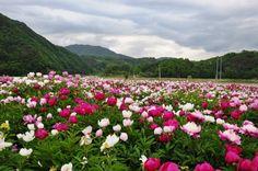 작약꽃들의 숲