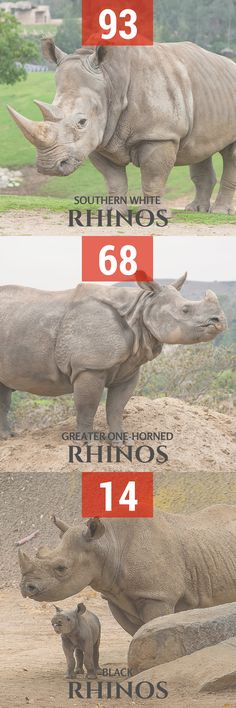 Over the past 42 years, our conservation efforts have led to the birth of 93 southern white rhinos, 68 greater one-horned rhinos and 14 black rhinos. www.rally4rhinos.com