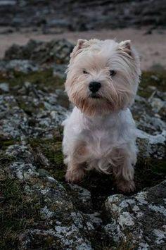 Mobile Uploads - Réglisse & Excel | Facebook | West Highland White Terrier | Scoop.it