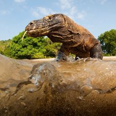 Photo by @stefanounterthiner. A three meters adult male Komodo dragon in the shallow water of Komodo island, Indonesia