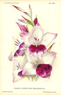40th anniversary flower | Antique print: picture of Gladioli - Gladiolus lemoinei Paul Marguerite Lemaire -hybrid
