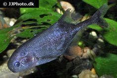 Petrocephalus bovei guineensis 4